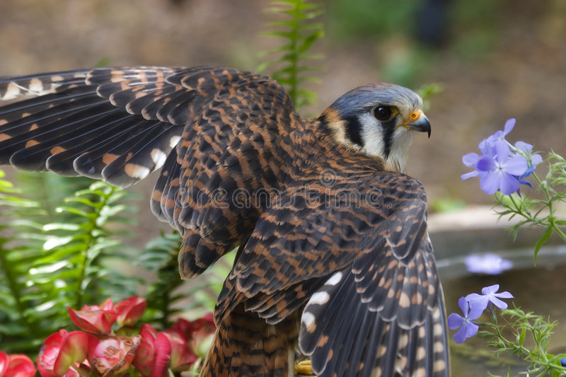 American Kestrel. The American Kestrel A Small Falcon with her Wings Spread stock image