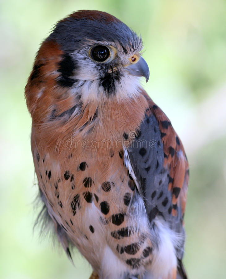 American Kestrel Royalty Free Stock Photography