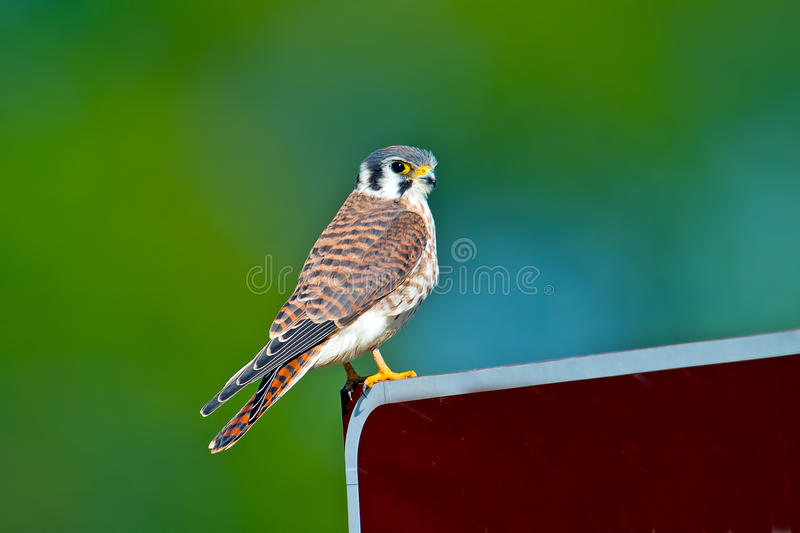 American Kestrel. Standing on sign looking directly into the camera stock photography