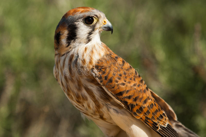 American Kestrel. Female American Kestrel Profile Looking to Right stock photography