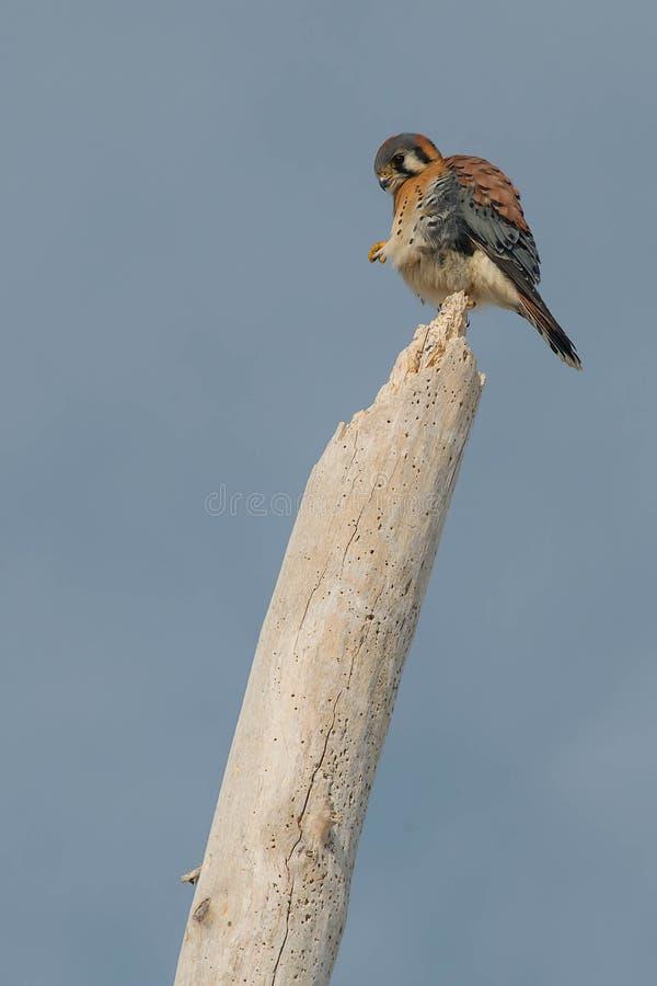 Download American Kestrel stock photo. Image of hunter, birding - 109575206