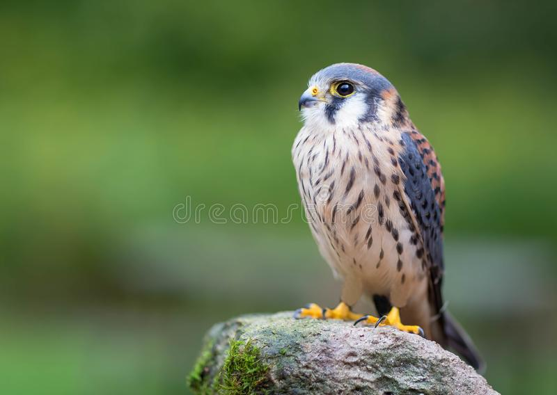 American Kestrel. An beautiful American Kestrel sitting on a tree royalty free stock images