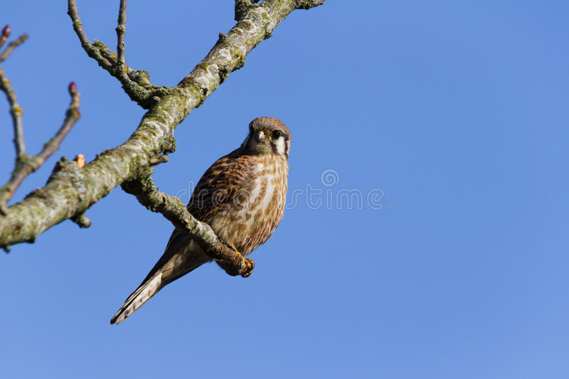Download American Kestrel stock image. Image of wild, wildlife - 31754045