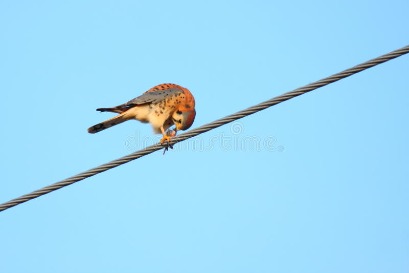 American Kestrel Bird On Wire Royalty Free Stock Images