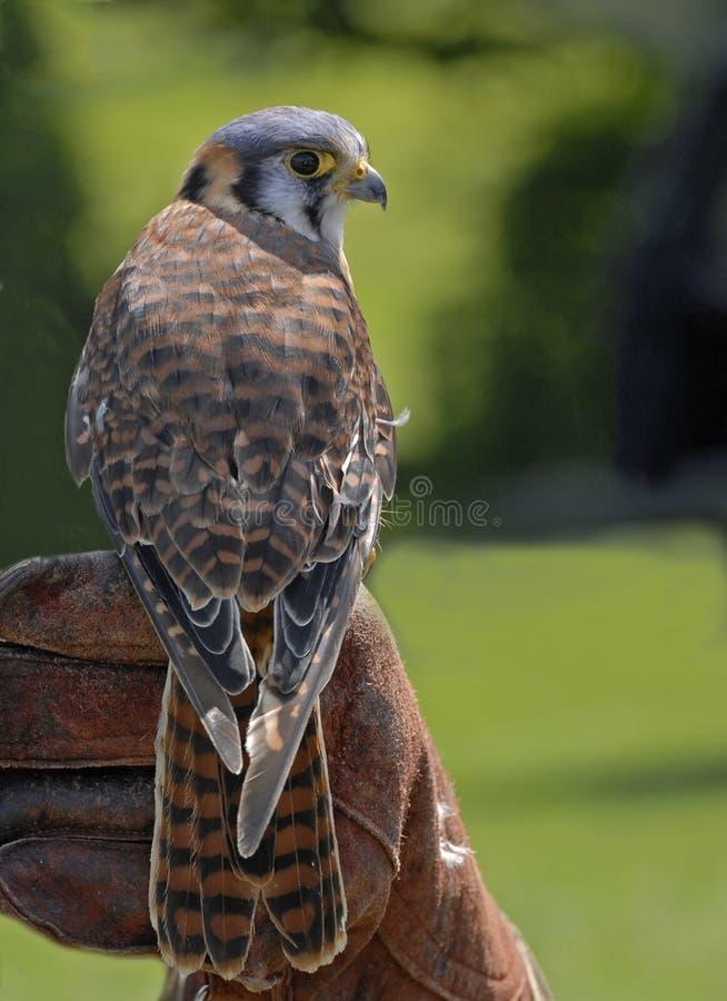 Download American Kestrel (falco Sparverius) Stock Photo - Image: 15409516