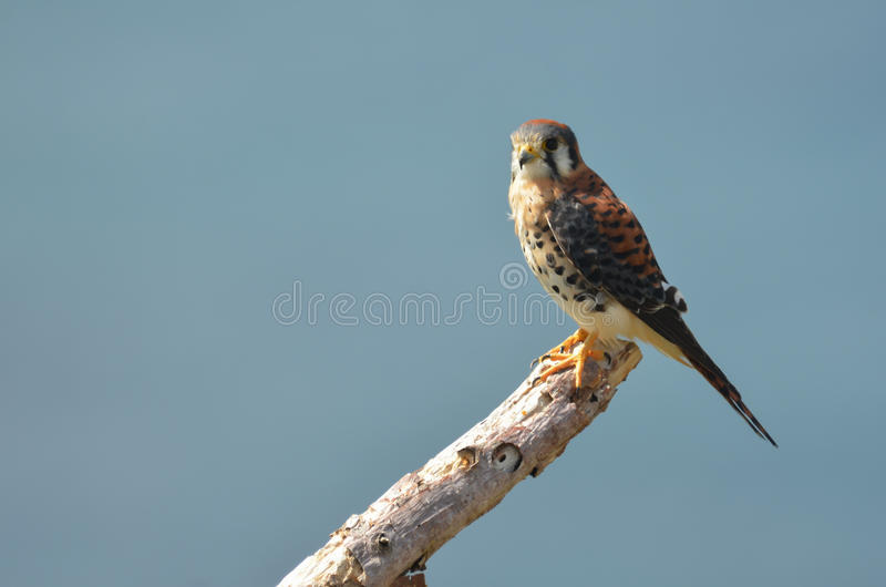 American Kestrel. An American Kestrel (Falco sparverius) perched on a dead branch stock image