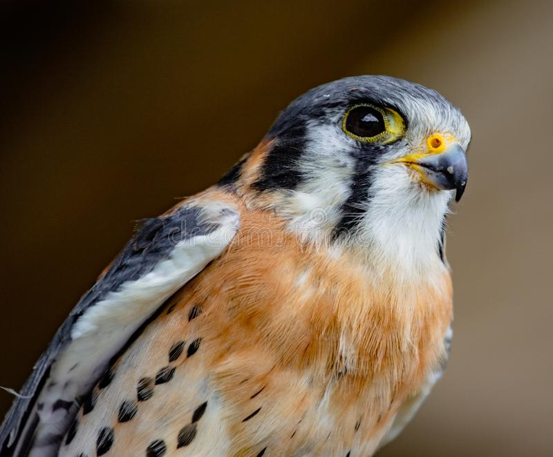 American kestrel perched. American kestrel sitting on a perch royalty free stock image