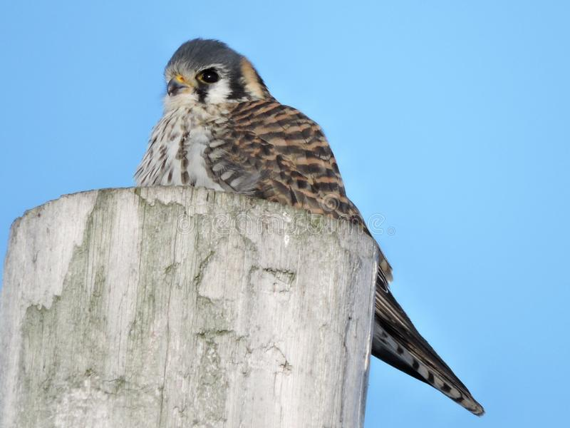American Kestrel sitting on top of pole. Looking onward ! Colors of gray, black white ,orange and brown royalty free stock image