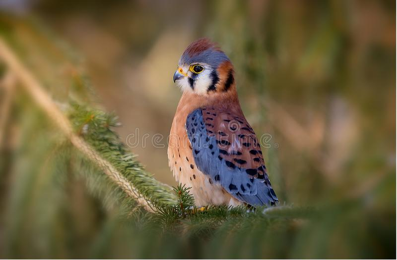 American Kestrel. Sitting on a tree branch royalty free stock images