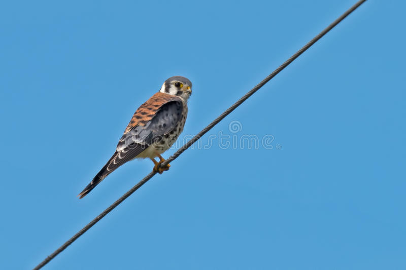 American Kestrel. Sitting on a wire royalty free stock image