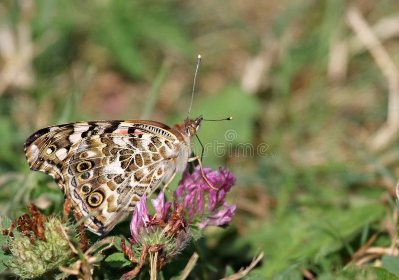 American Lady. An American Lady Vanessa virginiensis feeding on clover. Shot in Wheatley Provincial Park, located in Ontario, Canada royalty free stock photography