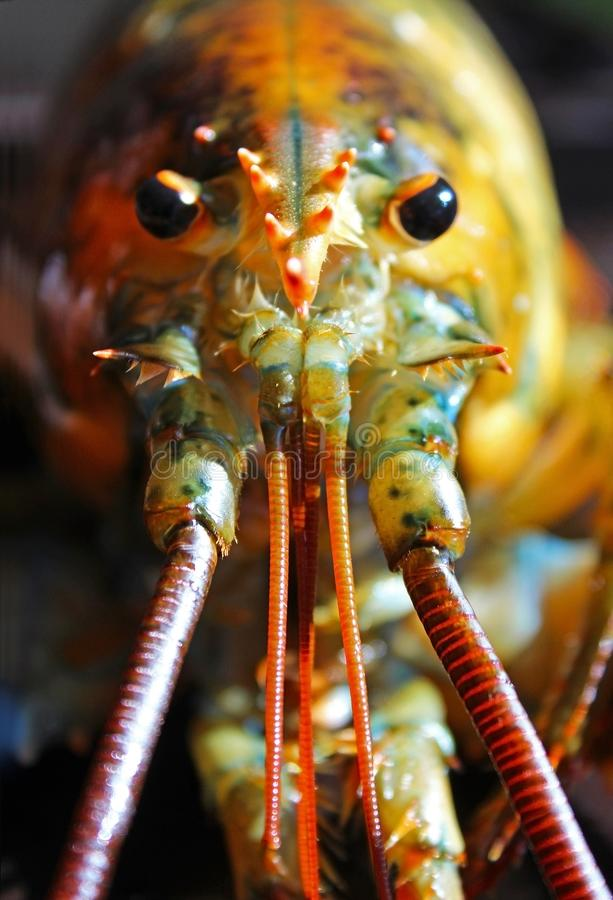 American Lobster looking at you. The American lobster, Homarus americanus, is a species of lobster found on the Atlantic coast of North America. It is also known royalty free stock photo