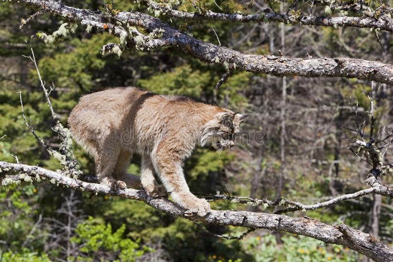 Download American Lynx cat stock image. Image of lynx, bobcats - 27113169