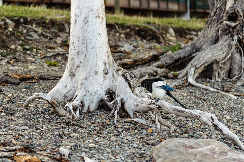 American magpie on a tree trunk stock photography