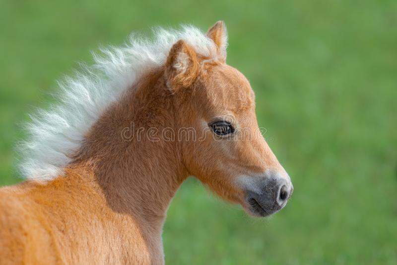 American Miniature Horse. Portrait close up of palomino foal. royalty free stock photo