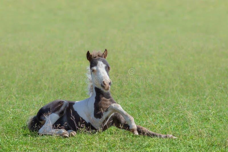 American Miniature Horse. Skewbald foal lying on grass. stock photo