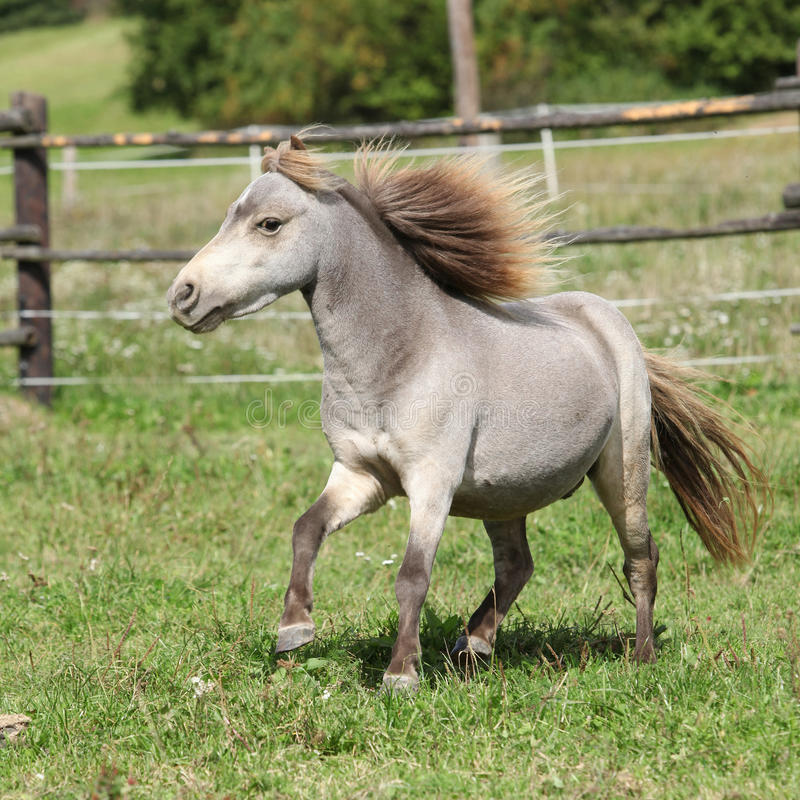 American miniature horse stallion running. On pasture royalty free stock image