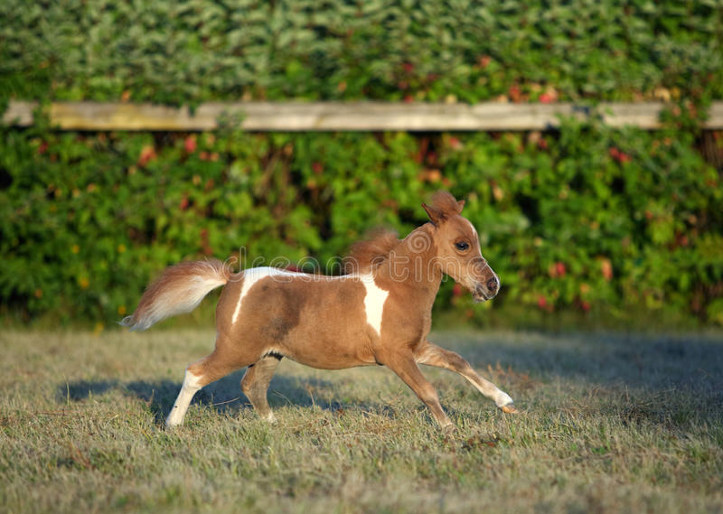 American miniature pony horse. Miniature horse in summer evening farm royalty free stock photography