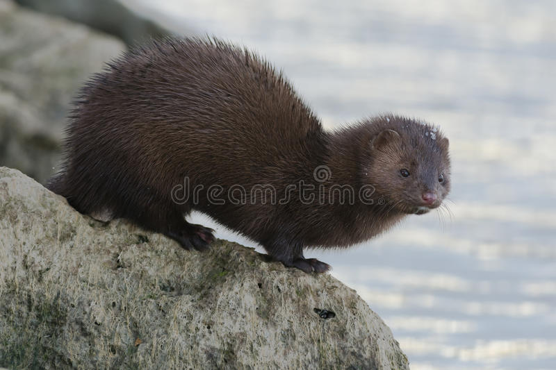 Download American Mink stock photo. Image of canadian, mustelid - 47183040
