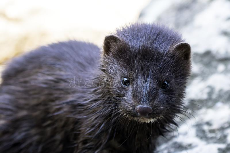 American mink, lives in forested areas that are near rivers, streams, lakes, ponds and marshes. The mink spends a lot of its time in the water hunting for food stock image