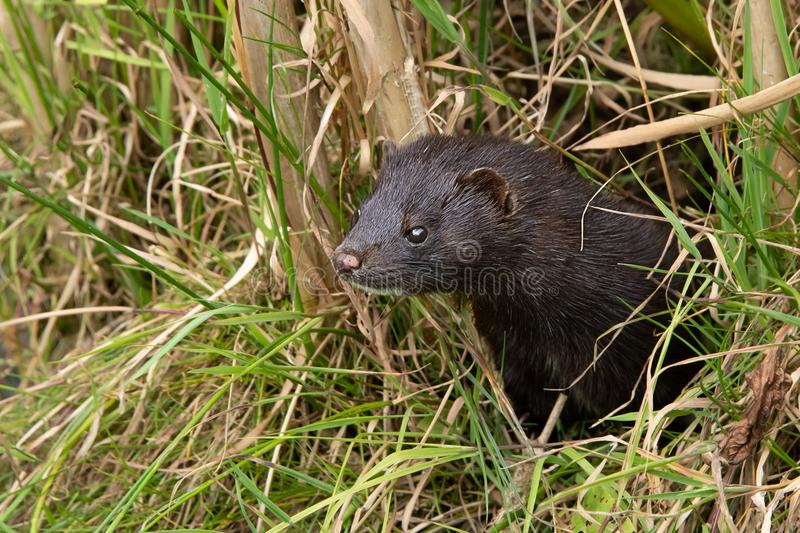 American mink looking through undergrowth stock photos