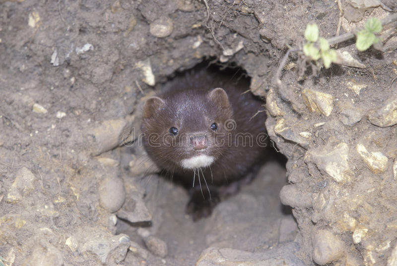 American mink, Mustela vison royalty free stock photography