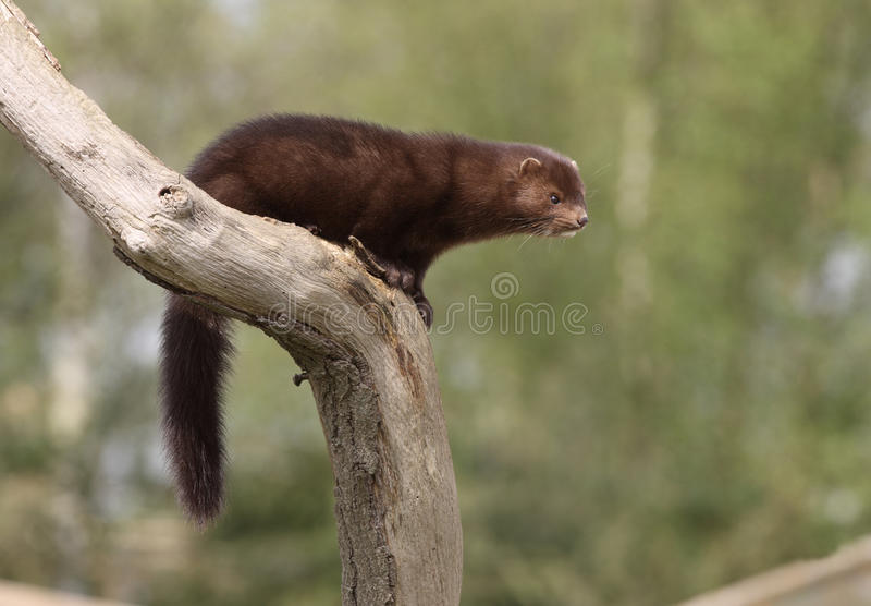 American mink, Mustela vison royalty free stock photos