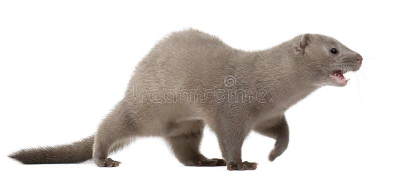 Download American Mink, Neovison Vison, 3 Months Old Stock Image - Image: 16713659
