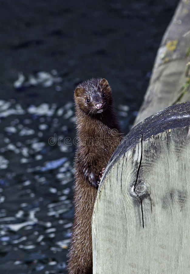 Free American Mink Standing By A Wooden Bridge Stock Images - 36915124