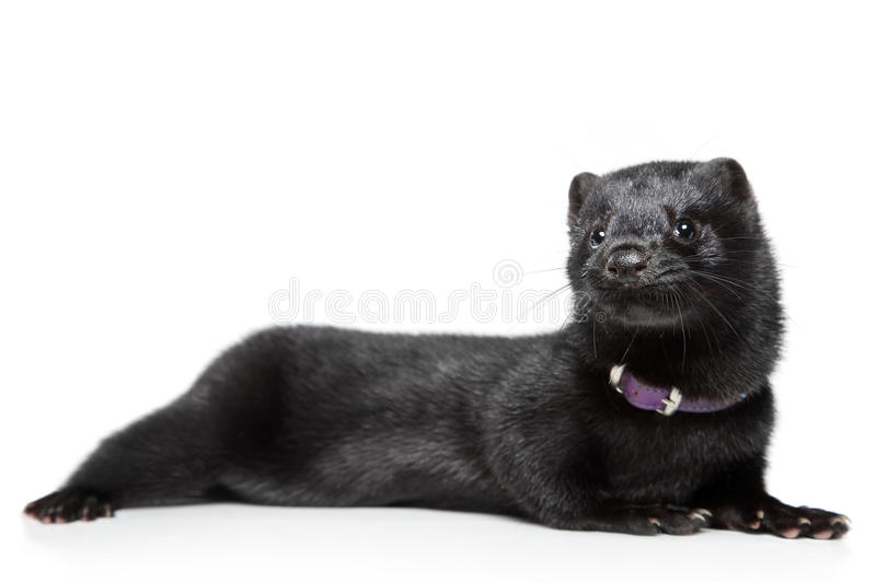 American Mink On White Background Royalty Free Stock Image