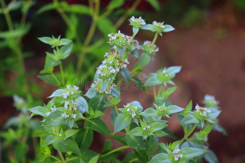 American Mint is an ornamental plant originally from the United States. The plant is characterized by green leaves. White flowers, mint tea is used to treat stock image