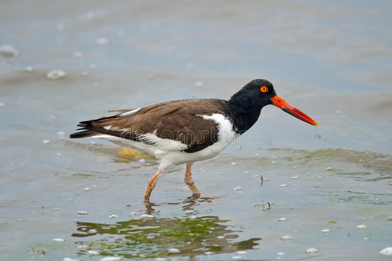 American Oystercatcher royalty free stock photography