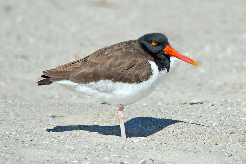 Download American Oystercatcher stock image. Image of forsythe - 24266067