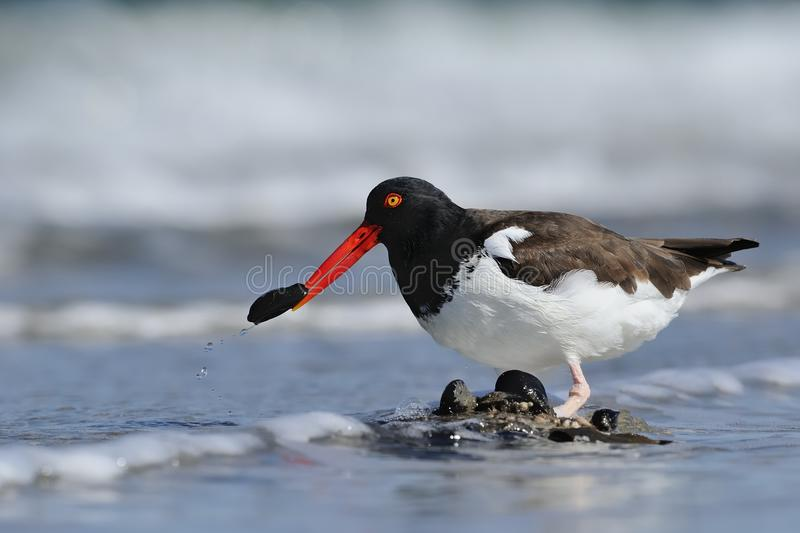 American Oystercatcher with blue mussel. American Oystercatcher is cutting off a blue mussel by the Horseshoe crab's back, soaking in the ocean stock image