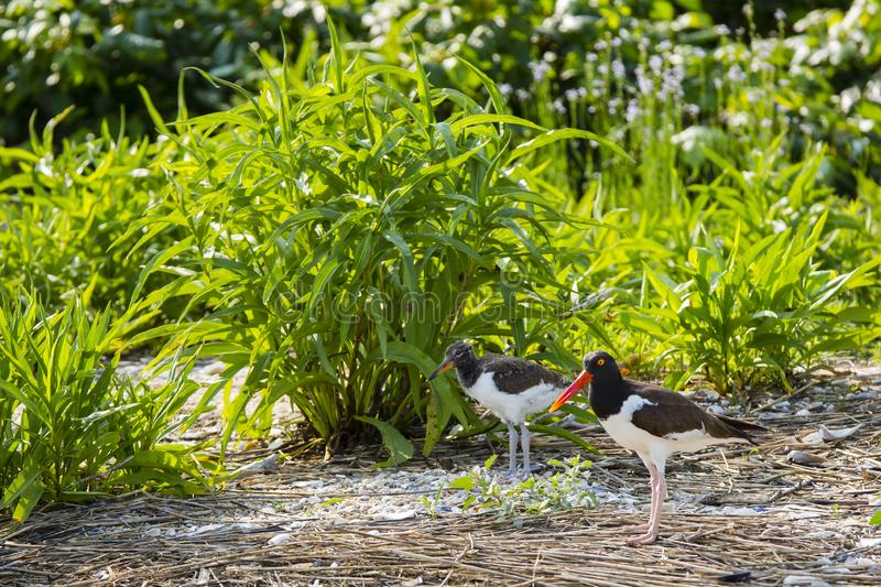 American Oystercatcher Chick and Mother Portrait. Standing near beach shrubs, a juvenile or chick American Oystercatcher has dull brown and white feathers, gray royalty free stock image
