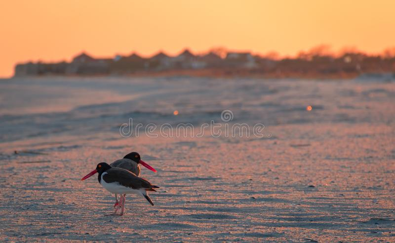 American Oystercatcher couple forage on the beach at sunset in Cape May, NJ royalty free stock image