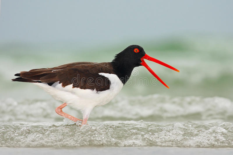 American Oystercatcher, Haematopus palliatus, water bird in the wave, with open red bill, Florida, USA stock photography