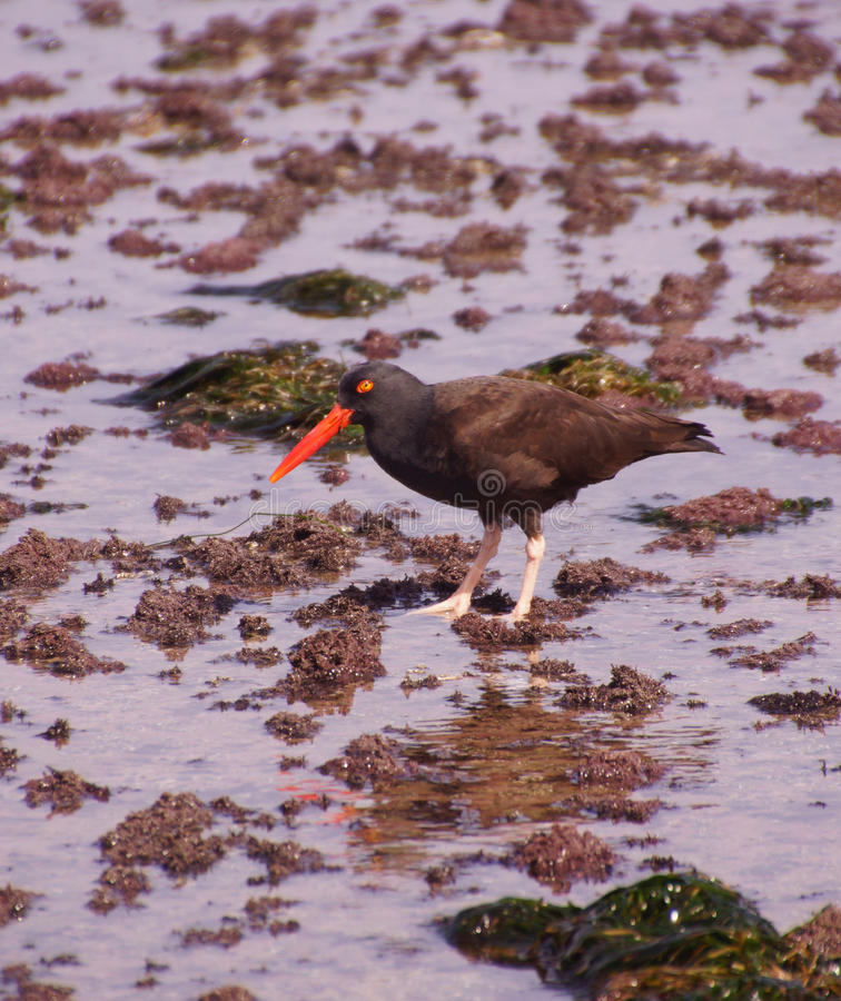 American oystercatcher walking in tide pools royalty free stock image
