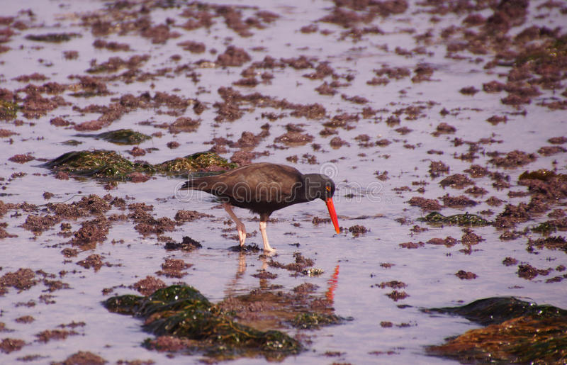 American oystercatcher walking in tide pools royalty free stock images