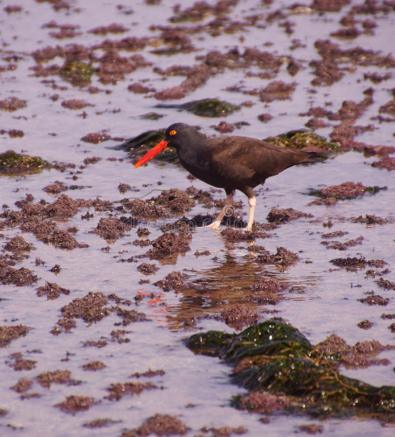 American oystercatcher walking in tide pools stock photography