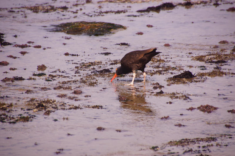 American oystercatcher walking in tide pools royalty free stock photo