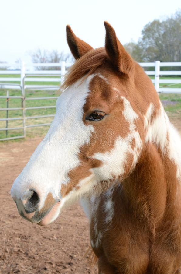 American Paint Horse royalty free stock images
