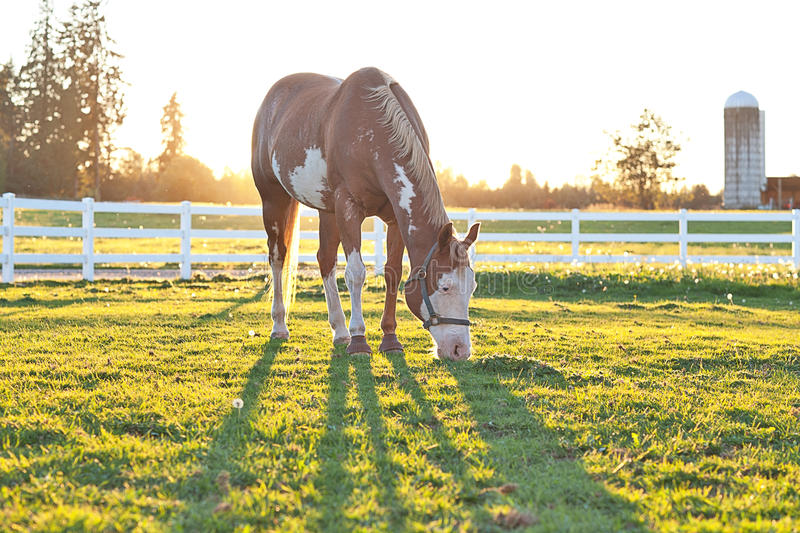 American Paint Horse Grazing at Sunset. An American Paint Horse grazing in the sunset royalty free stock photography