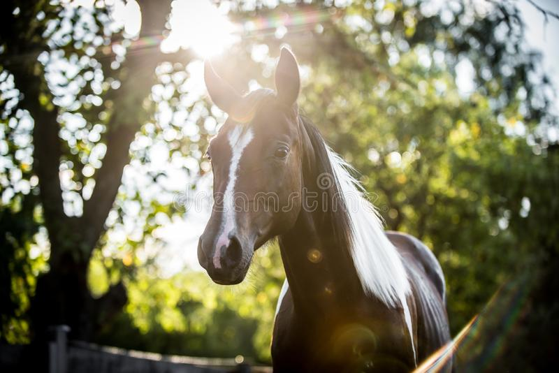 American paint horse portrait. In the backlight in summer royalty free stock photo