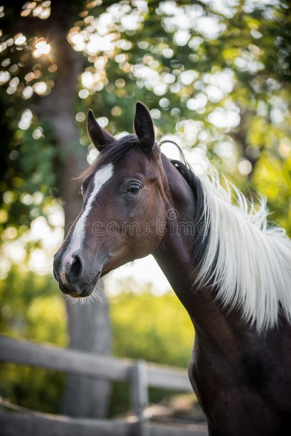 American paint horse portrait. In backlight in summer stock photo