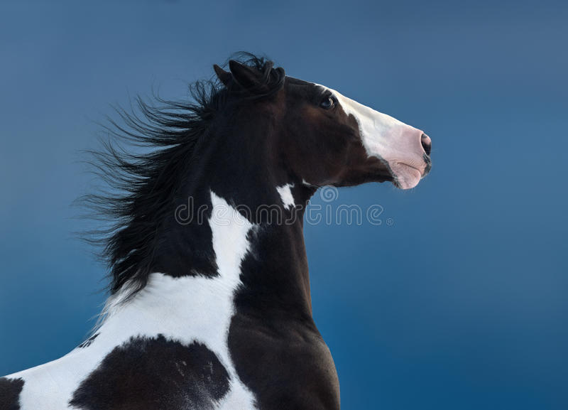 American Paint horse. Portrait on dark blue background. Side view. Close up stock photos