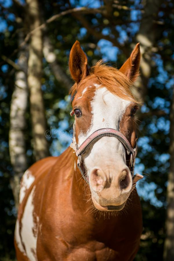 American Paint horse portrait. With the halter stock photography