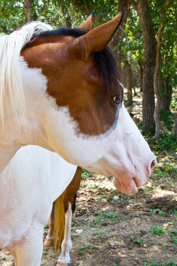 American Paint Horse royalty free stock image