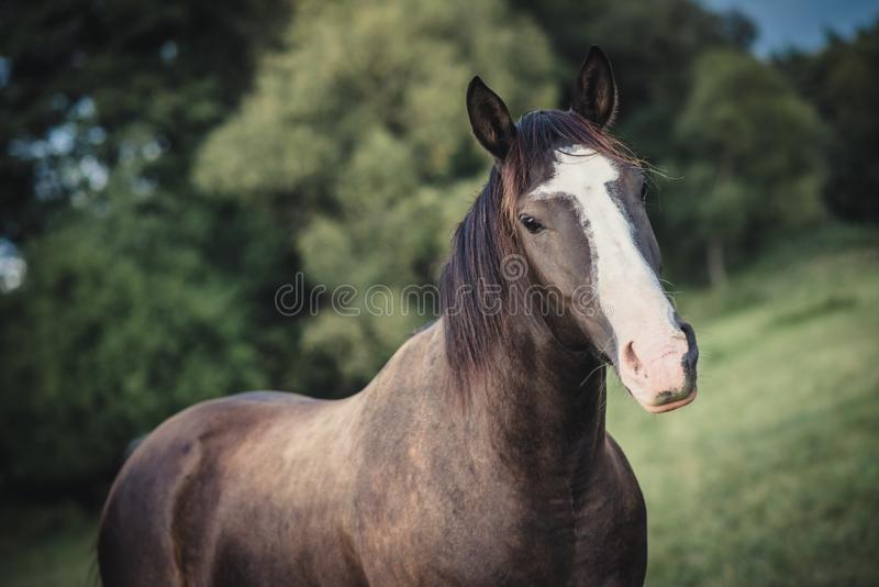 American paint horse portrait. In summer royalty free stock image