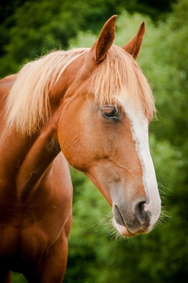American paint horse portrait. In summer green meadow royalty free stock photo